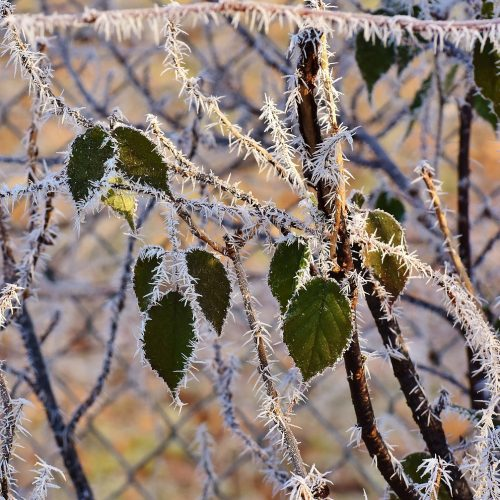 leaves-frost
